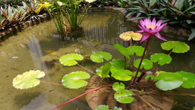 Waterlily in de vijver Royalty-vrije Stock Foto