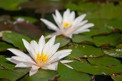 Waterlily in de vijver Royalty-vrije Stock Fotografie