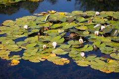 Waterlily in einem botanischen Garten, im Sommer Stockfotografie