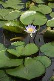 Waterlily em uma lagoa Foto de Stock Royalty Free
