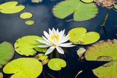 Waterlily en fleur sur un lac serein Photos libres de droits