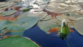 Waterlily en la charca Fotos de archivo