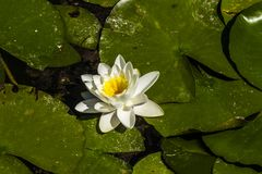 Waterlily en una charca foto de archivo libre de regalías
