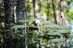 Waterlily a entouré par des réflexions d'arbre sur le lac Images libres de droits