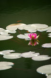 Waterlily and fish in pond Royalty Free Stock Images