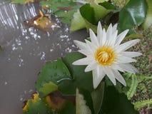 waterlily fotografía de archivo