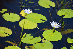 Waterlily in flower Stock Photos