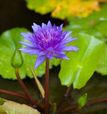 Waterlily Flower Blossom Royalty Free Stock Photo