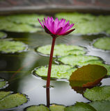Waterlily Flower Blossom. Tropical Plant Lotus Royalty Free Stock Photography