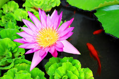 Waterlily Flower and Carps. Waterlily flower with some carps swimming around it Stock Image