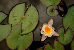 Waterlily. Flower on a pond Royalty Free Stock Images