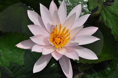 Waterlily flower. Water lily flower rising above the floating leaves royalty free stock images