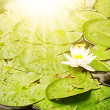 WaterLily Flower Royalty Free Stock Photo
