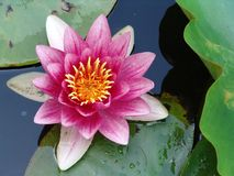 Waterlily in full bloom Royalty Free Stock Images