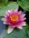 Waterlily on garden pond. Pink waterlily on garden pond royalty free stock images