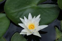 Waterlily in garden pond Stock Photography