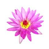 Waterlily geïsoleerd roze stock foto