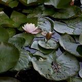 Waterlily gradisce quello da Monet Immagine Stock Libera da Diritti