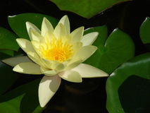 Waterlily among green foliage Stock Images