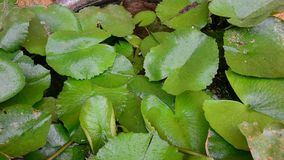 Waterlily green leaves on the pond stock footage
