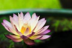 Waterlily hybride Photographie stock libre de droits