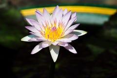 Waterlily hybride Photos stock