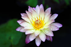 Waterlily hybride Images stock