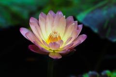 Waterlily hybride Image libre de droits