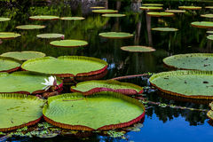 Waterlily i Bali Fotografering för Bildbyråer