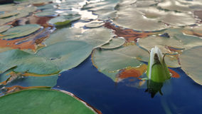 Waterlily i dammet Arkivfoton
