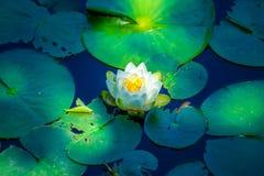 Waterlily i skuggan Arkivfoton