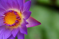Waterlily III Stock Photos