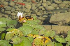 Waterlily im See Stockbild