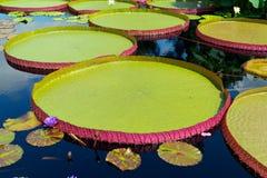 Waterlily im tropischen Garten Stockbild