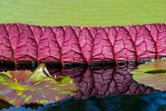 Waterlily im tropischen Garten Lizenzfreie Stockbilder