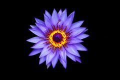 Waterlily Isolated Black Royalty Free Stock Photography