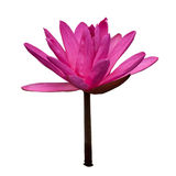 Waterlily isolated on white Royalty Free Stock Photography