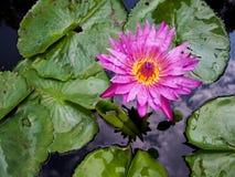 WaterLily kwiat obraz stock