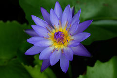 WaterLily kwiat Obrazy Royalty Free
