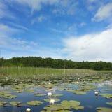 Waterlily at lake Mueritz Royalty Free Stock Photography