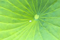 Waterlily leaf with water drop on it Stock Image