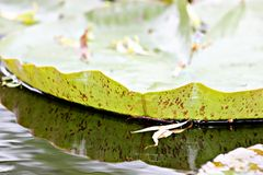 Waterlily leave royalty free stock photos