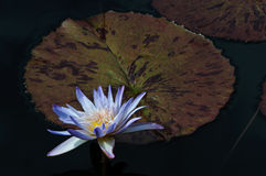 Waterlily and Leaves Stock Photo