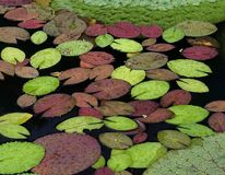 Waterlily Leaves Stock Photos