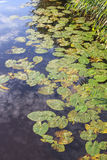 Waterlily leaves Stock Photography