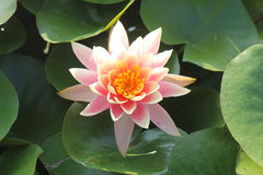 Waterlily among leaves Stock Photography
