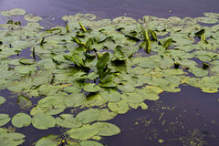 Waterlily leaves in lake Royalty Free Stock Photography