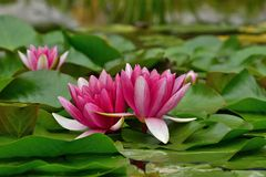 Waterlily Stock Images