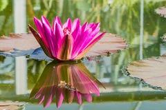Waterlily Lotosowego stawu wody menchie obraz stock