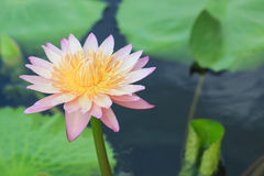 Waterlily, lotus blooming in the tropical Royalty Free Stock Photography